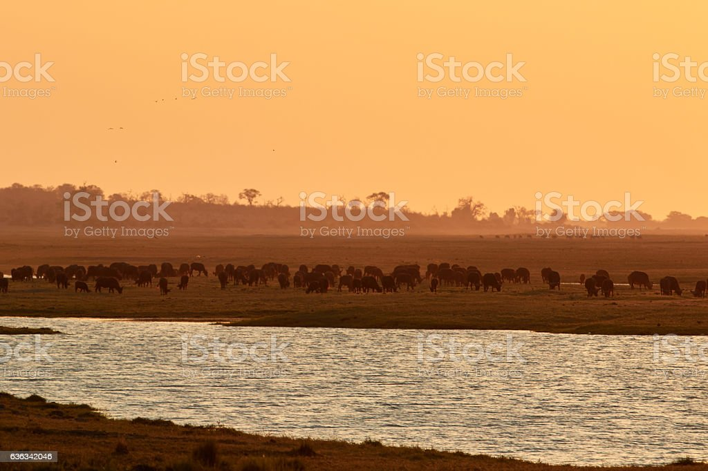 Herd of African buffalo in the sunset stock photo