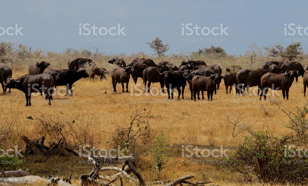 Herd of African Buffalo stock photo