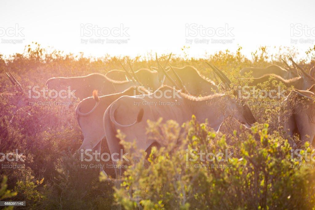 Herd of African Eland walking through tall grass stock photo