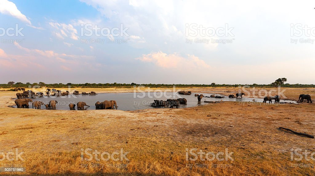 herd of African elephants drinking at a muddy waterhole stock photo