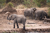 Herd of African  Elephants dusting themselves on the river bank