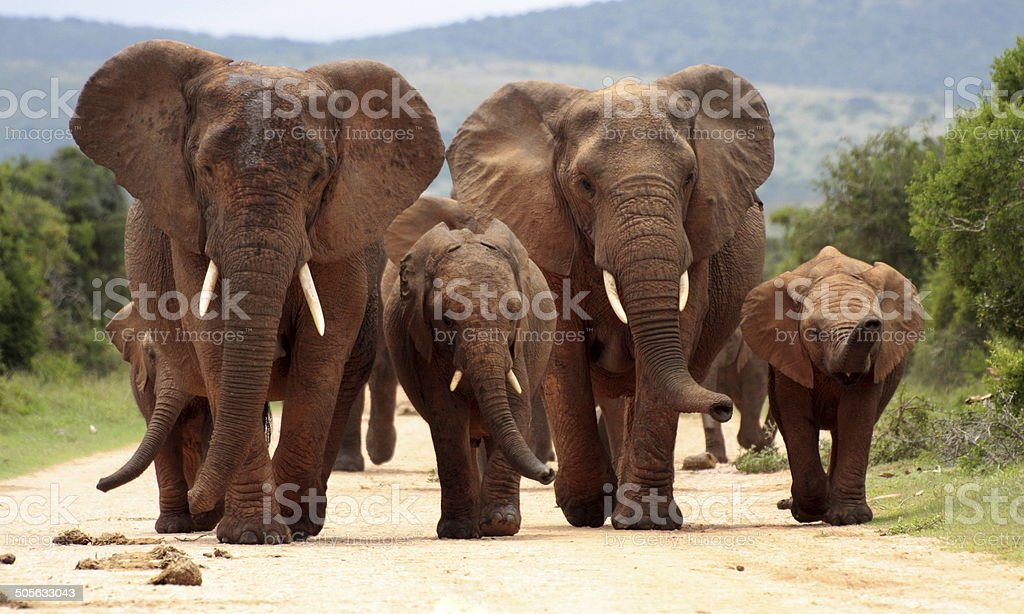 Herd of African elephants in South Africa royalty-free stock photo