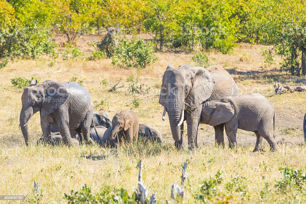 Herd of African Elephants in the Kruger National Park stock photo