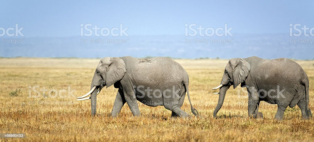 Herd of African Elephants royalty-free stock photo
