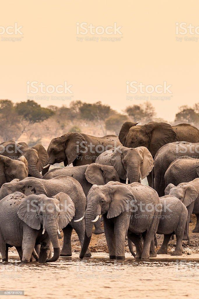 Herd of African Elephants stock photo