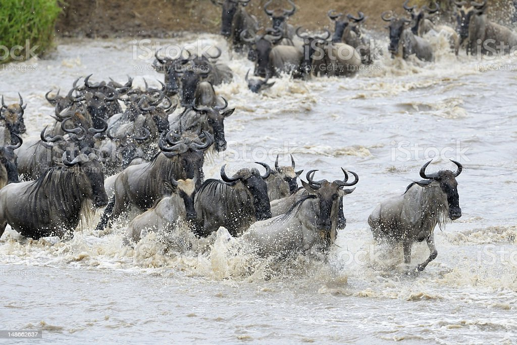 A herd of African wildebeest stampede through a river stock photo