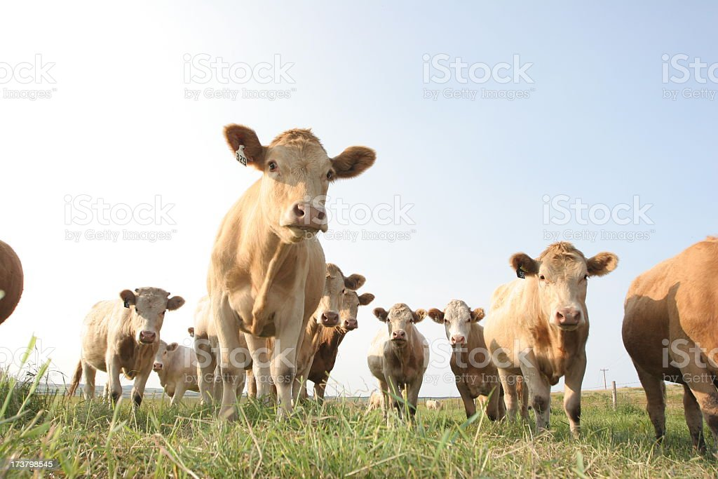 A herd of Alberta cows on the pasture stock photo