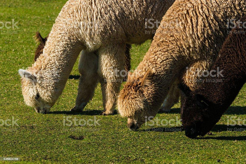 Herd of alpaca on a ranch stock photo