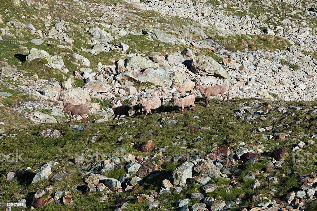 Herd of Alpine ibexes  among rocks and snow stock photo