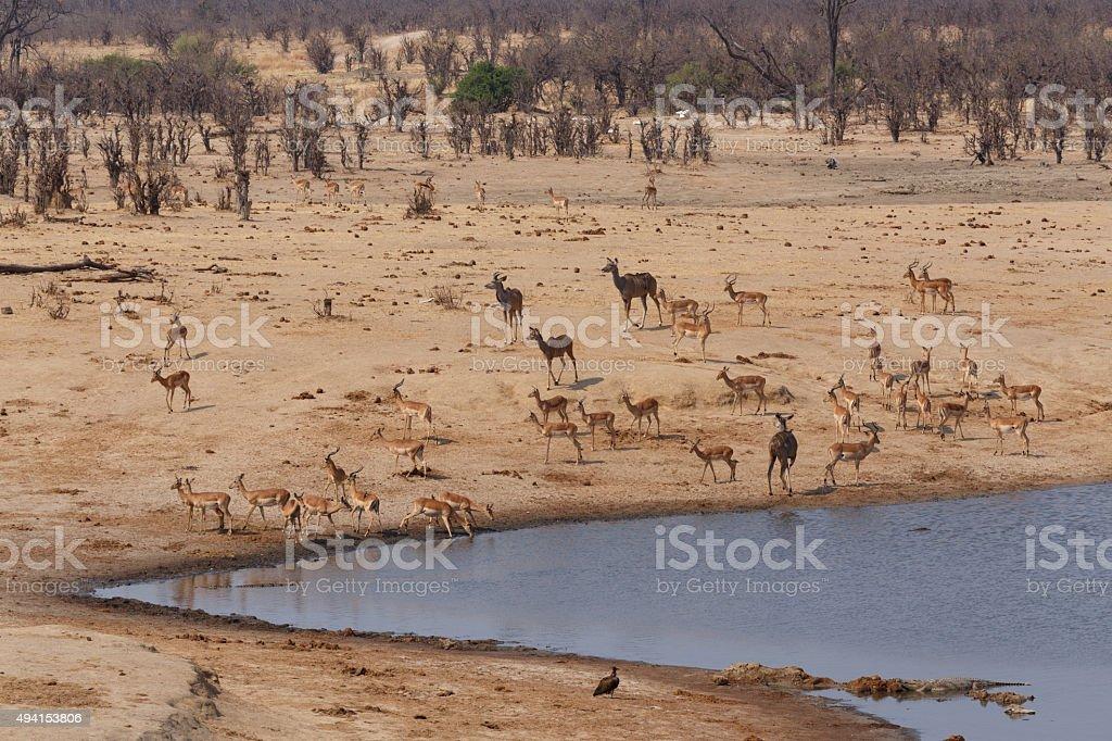 herd of Antelope drinking at a muddy waterhole stock photo