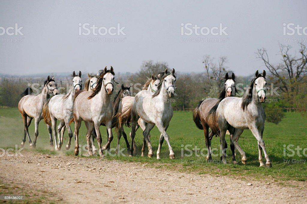 Herd of arabian horses running in the field stock photo