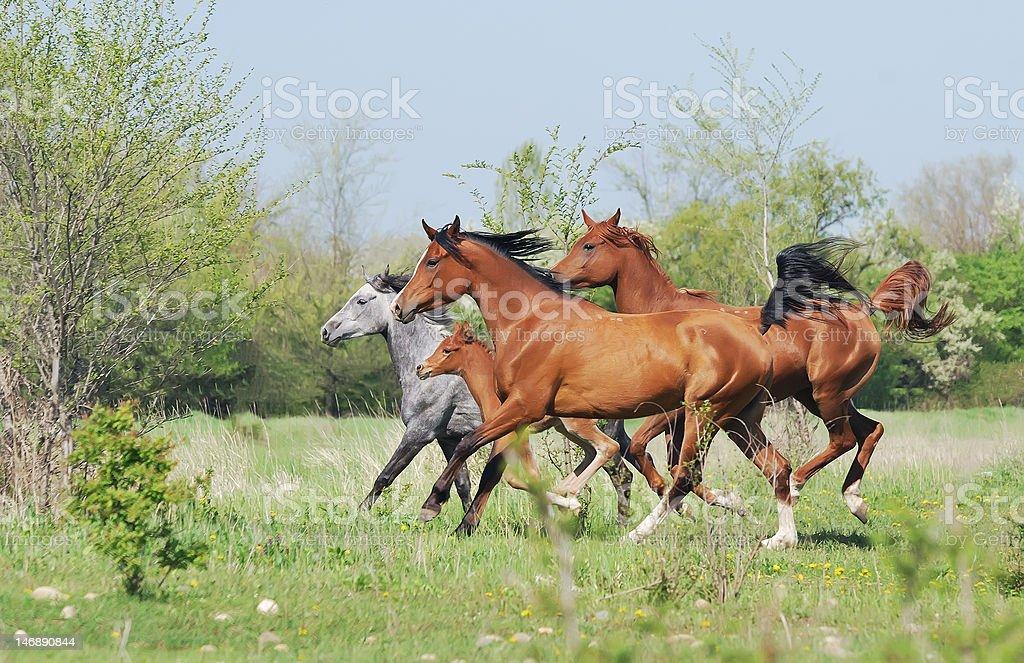 herd of arabian horses running on pasture royalty-free stock photo