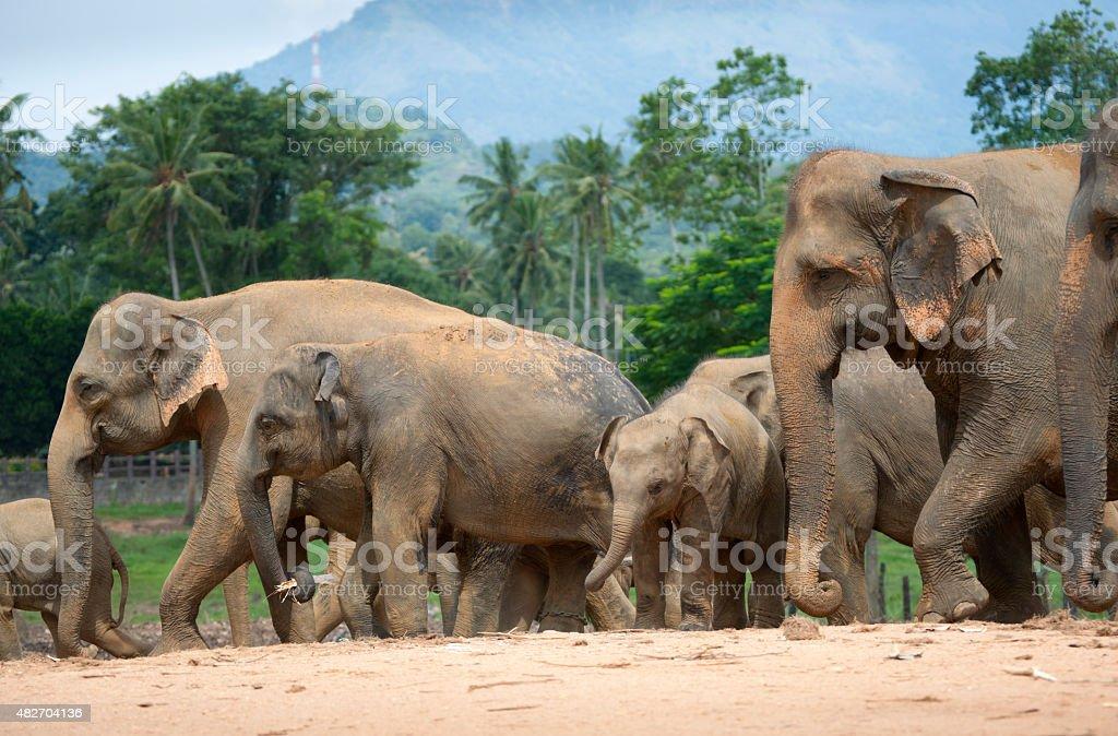 Herd of Asian elephants moving on land stock photo