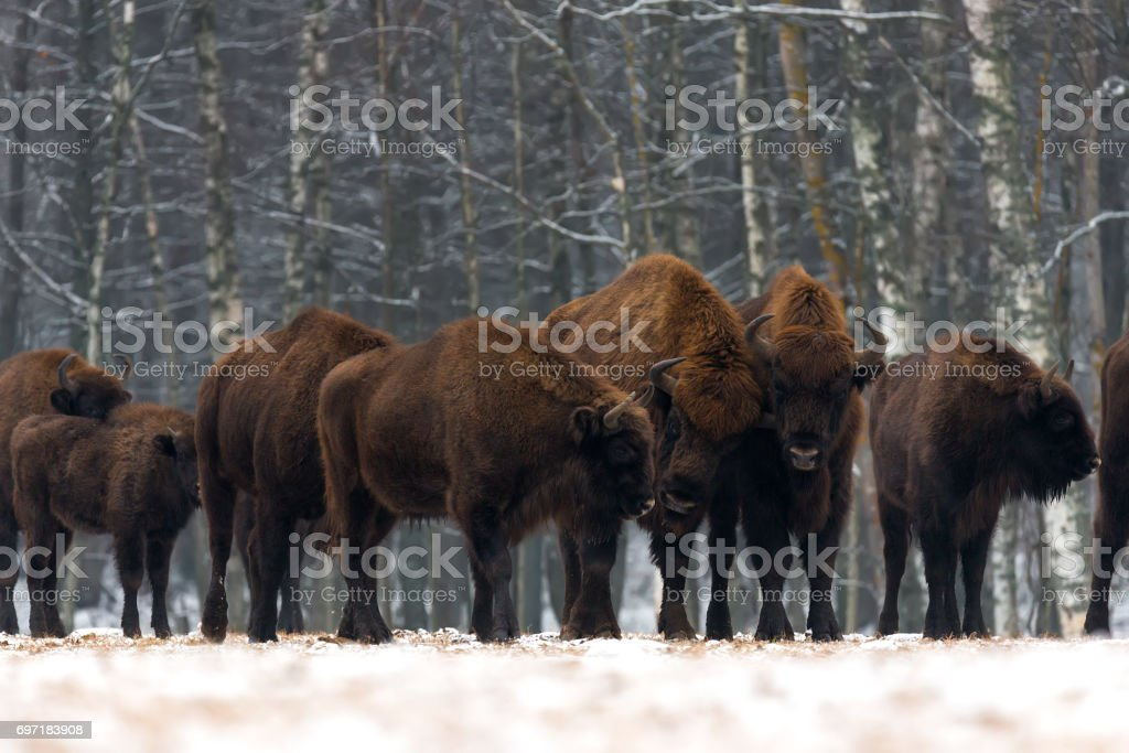 A herd of aurochs standing on the winter field. Several large brown bison on the forest background.Some bulls with big horns on the forest background.Bison heard.Belarus, Bialowieza Forest Reserve.Poland stock photo