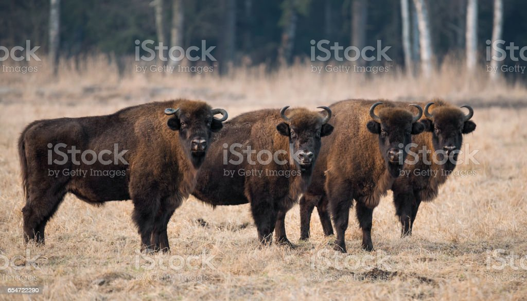A herd of aurochs.Four large bison on the forest background.Belarus, Bialowieza Forest Reserve stock photo