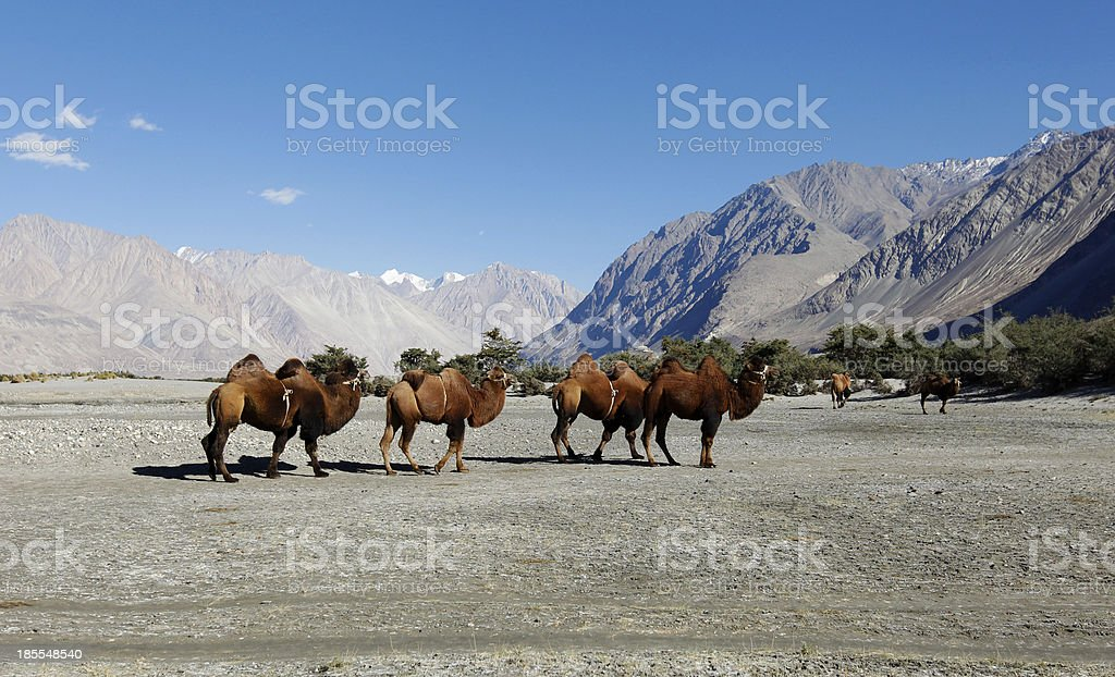 Herd of Bactrian camel stock photo