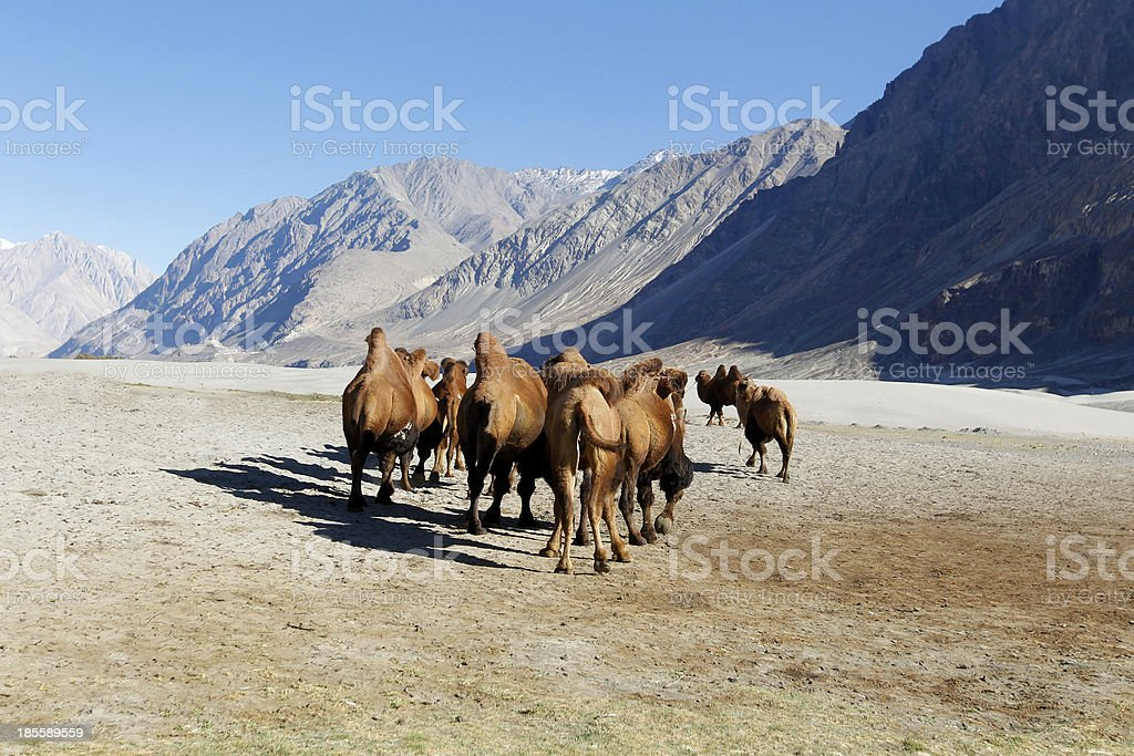 Herd of Bactrian camel royalty-free stock photo