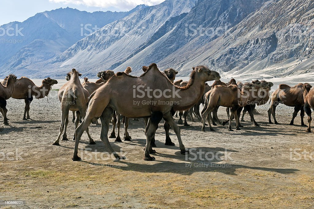 Herd of Bactrian Camels in Nubra Valley India royalty-free stock photo
