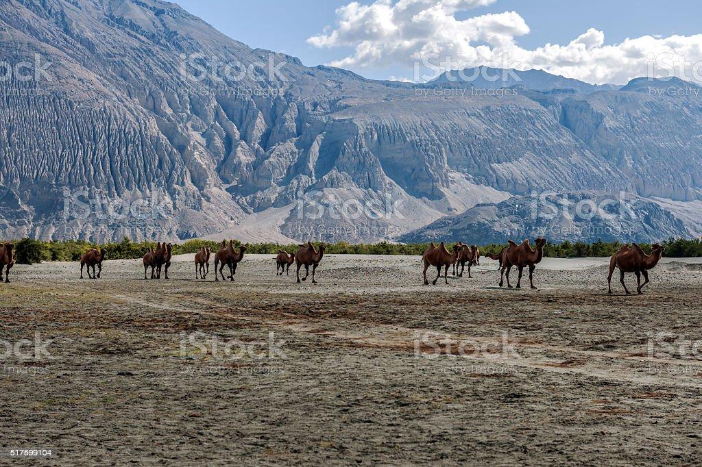 Herd of Bactrian camels,Khardung La Pass,Kashmir,Tibet, India stock photo