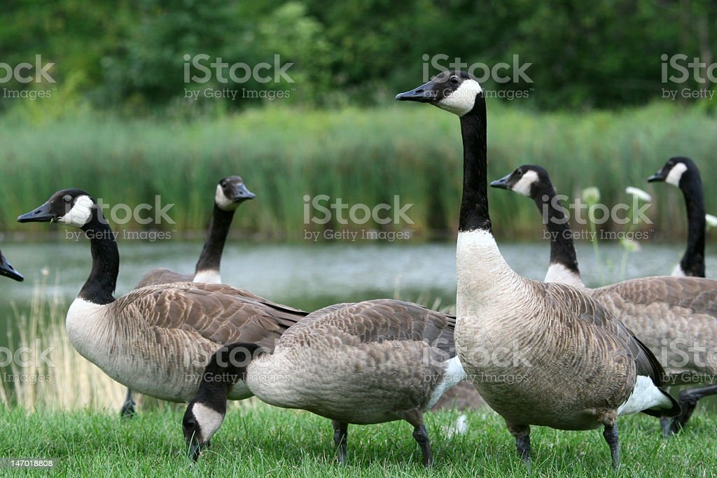 A herd of beautiful Canadian geese stock photo