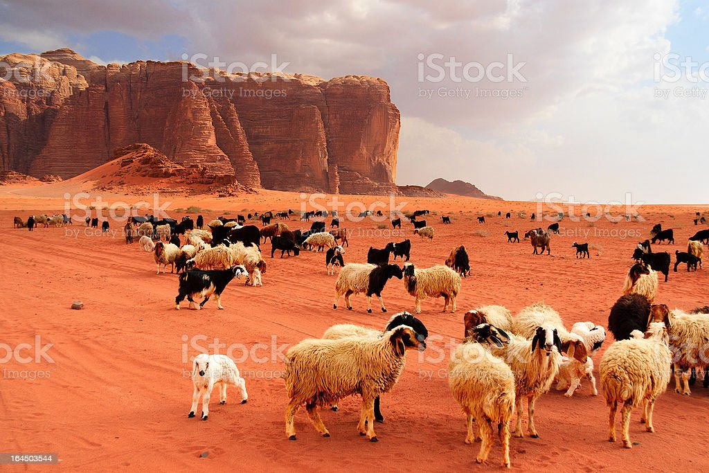 Herd of Bedouin sheep and goats stock photo