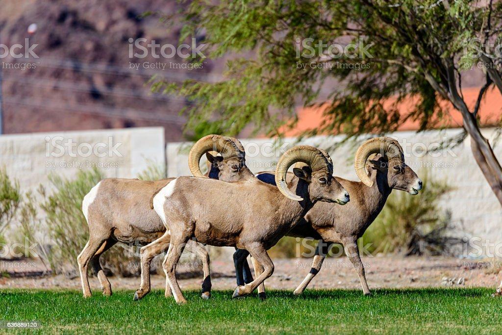 Herd of Bighorn Sheep Ram stock photo