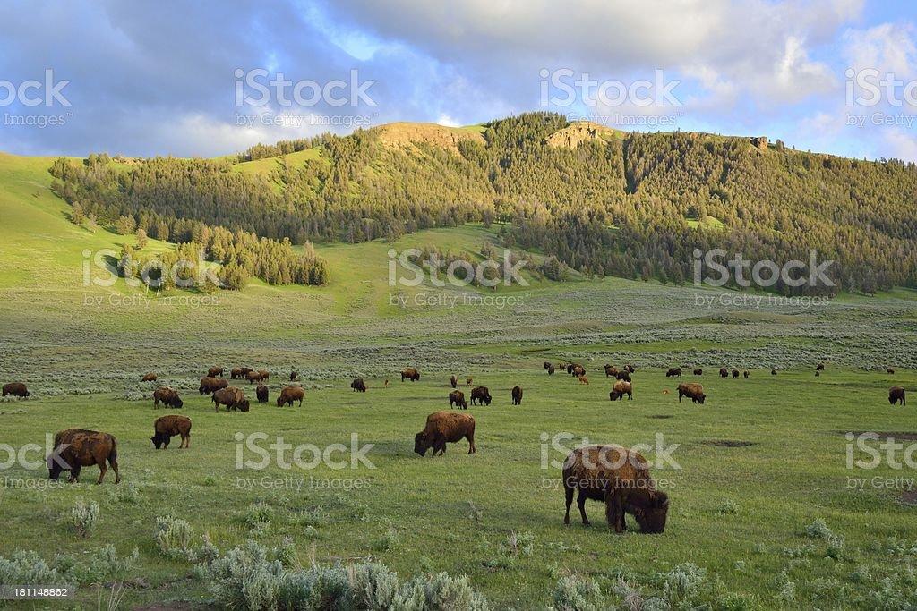 Herd of bison buffalo grazing stock photo