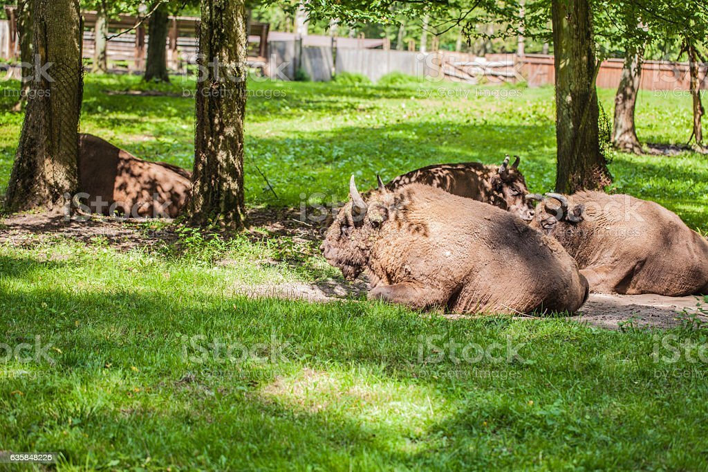 herd of bison on the grass in Bialowieza National Park stock photo
