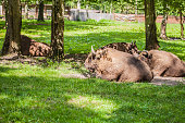 herd of bison on the grass in Bialowieza National Park