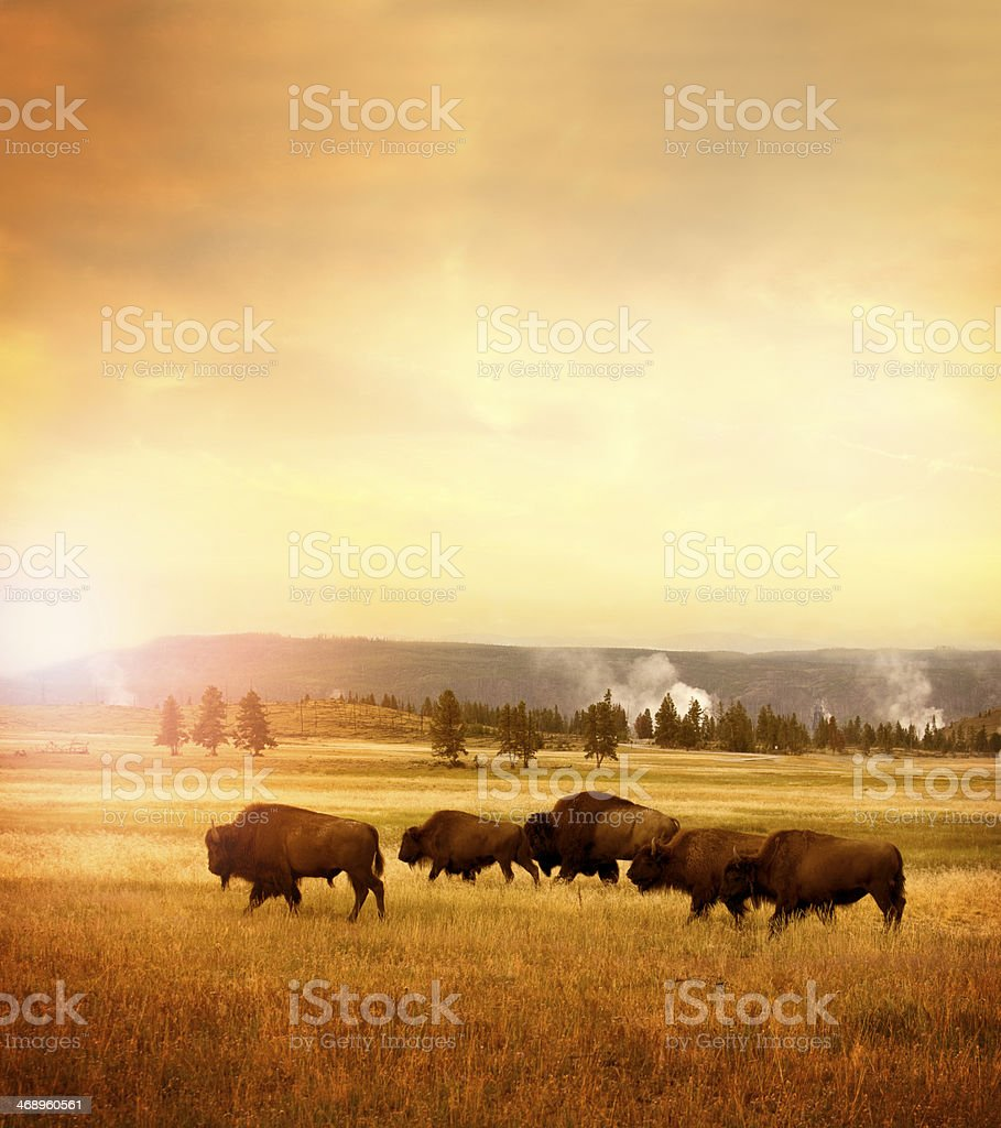 Herd of bisons in Yellowstone stock photo