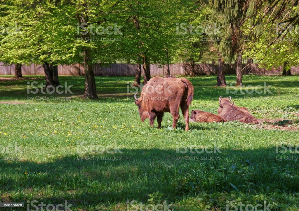 Herd of Bisons with calf at Bialowieza National Park stock photo