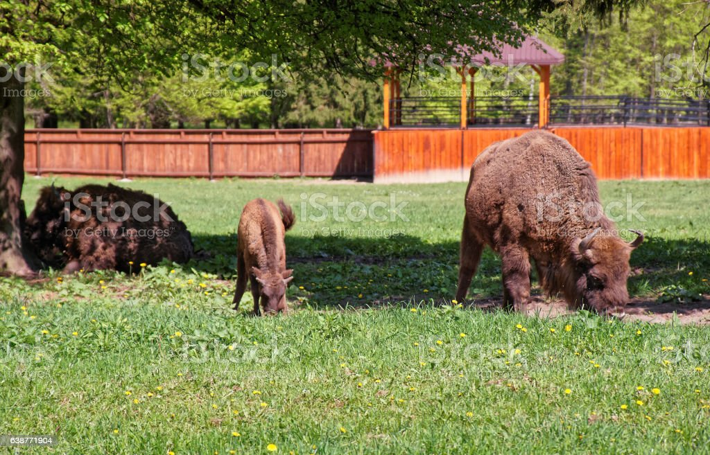 Herd of Bisons with calf in Bialowieza National Park stock photo