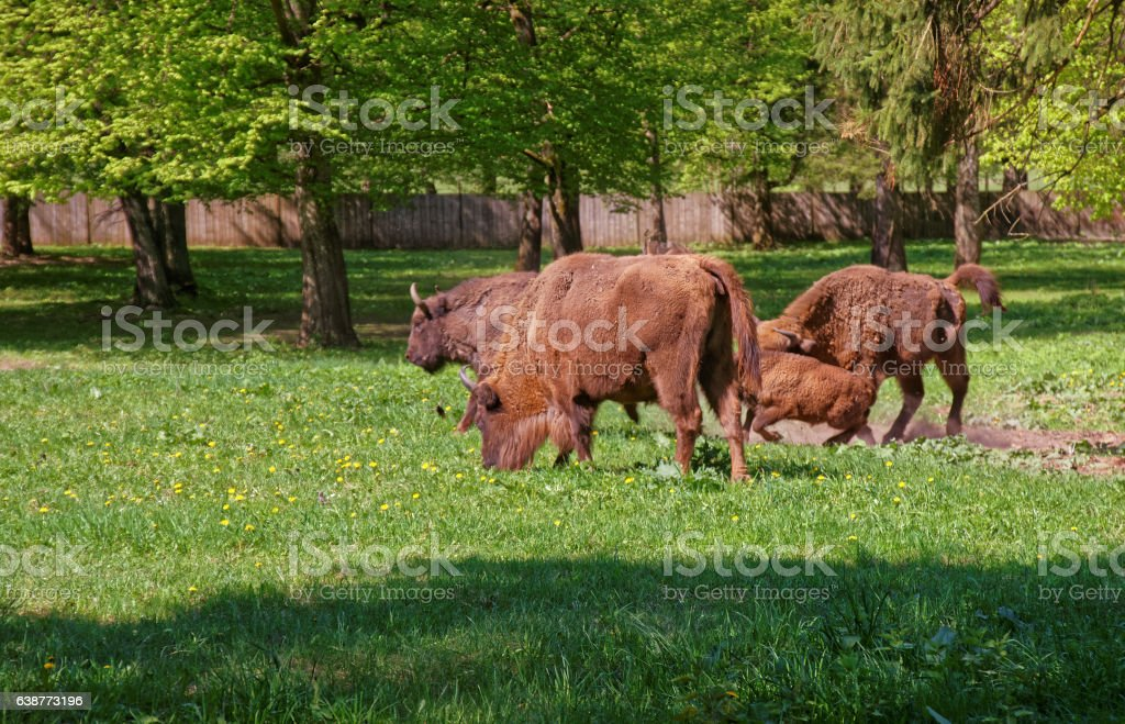 Herd of Bisons with calf in Bialowieza National Park Reserve stock photo