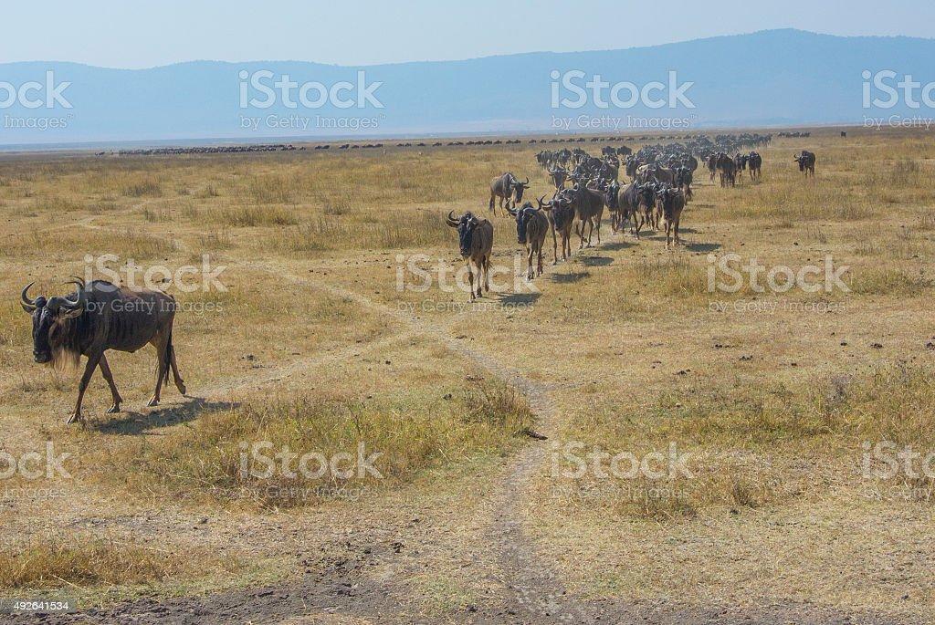 Herd of Blue Wildebeest Walking stock photo