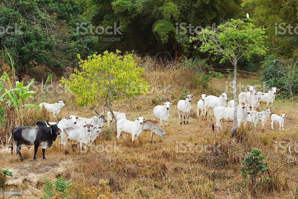 Herd of brazilian beef cattle bull - nellore, white cow stock photo