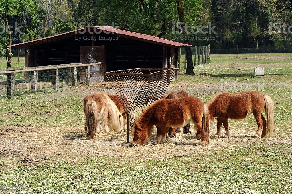 Herd of brown ponies feeding on hay stock photo