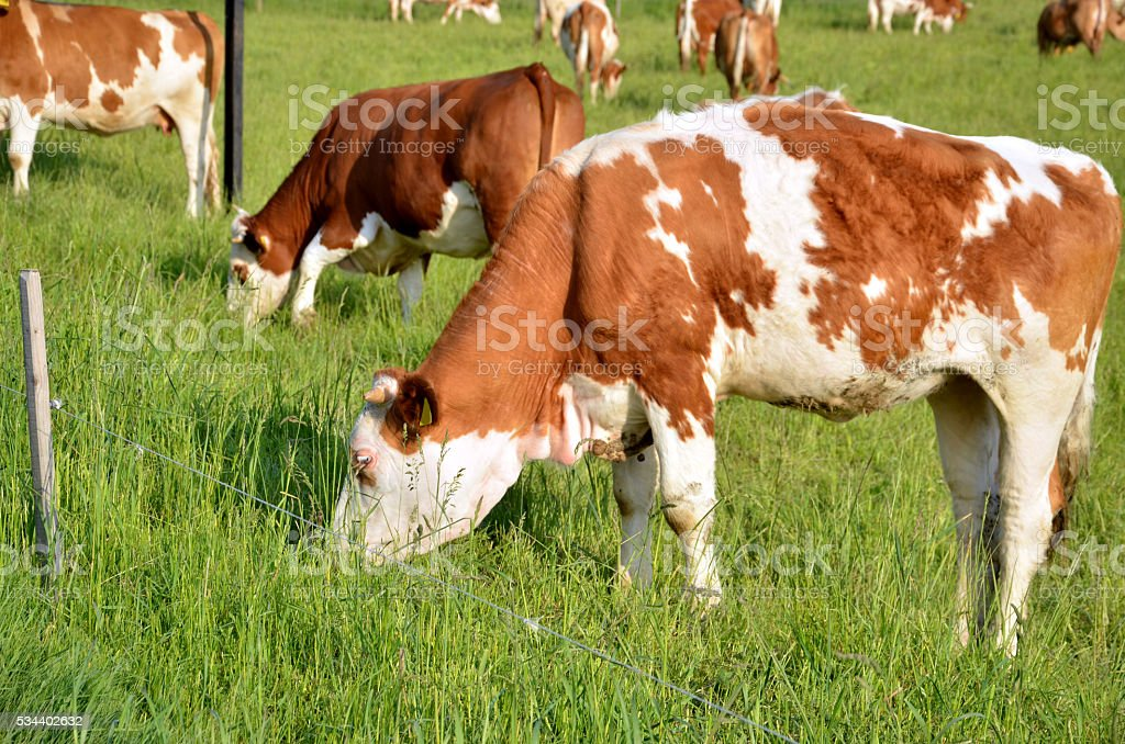 Herd of brown white cows feed on grass in sunshine stock photo