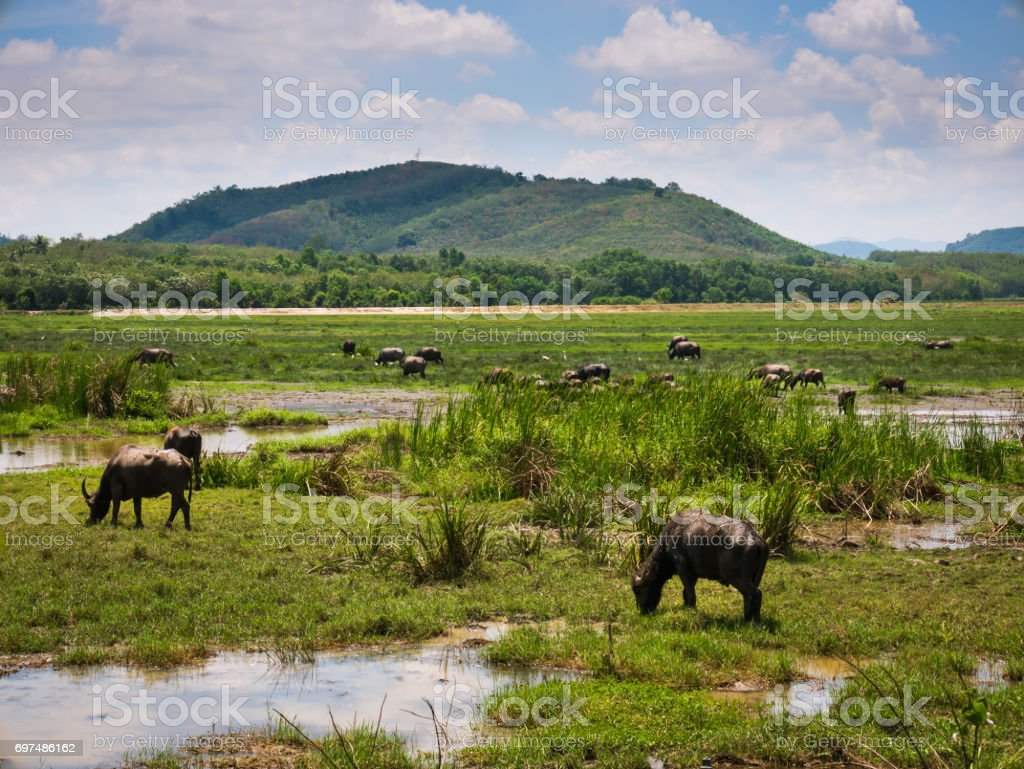 Herd of buffalo grazing in the swamp at Thailand stock photo