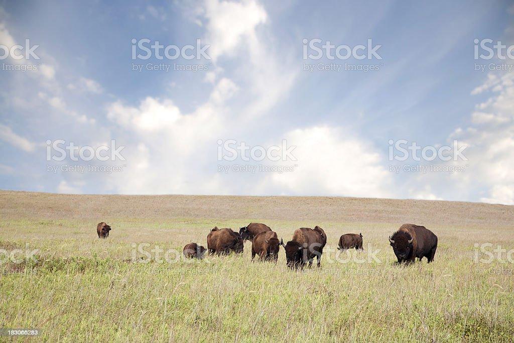 Herd of Buffalo royalty-free stock photo