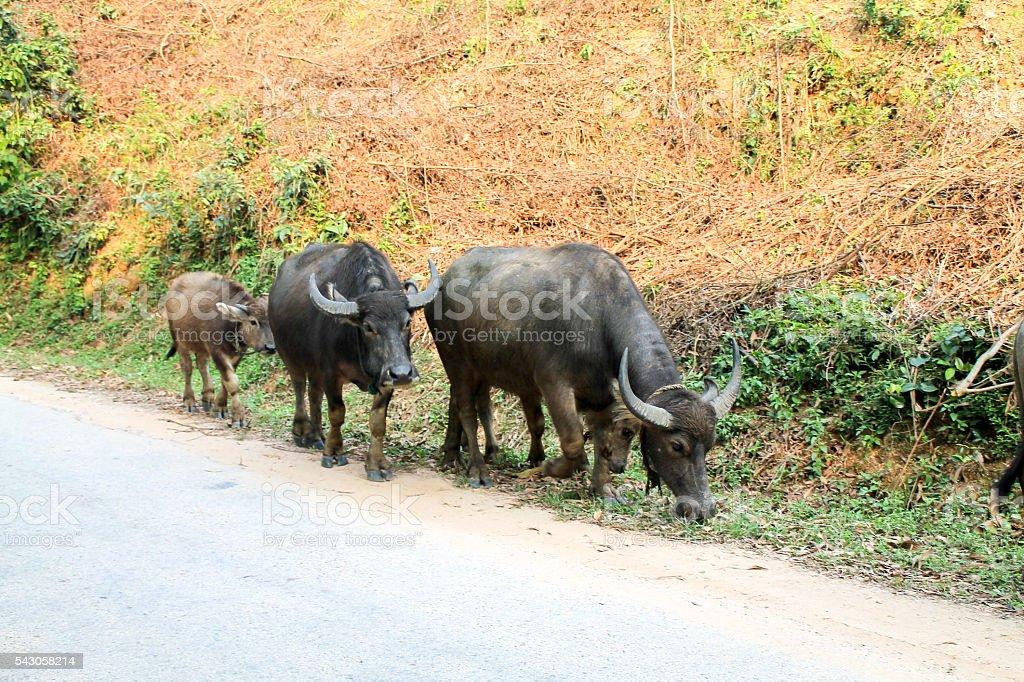 Herd of buffalo walking along a main road in Vietnam. photo libre de droits