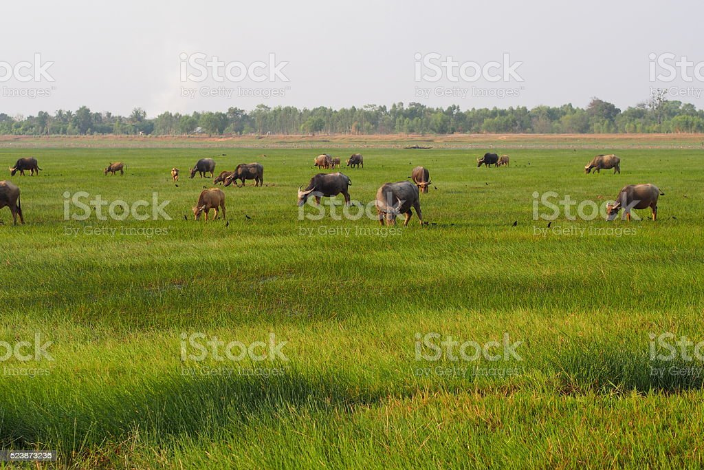 Herd of buffaloes eat grasses in green field stock photo