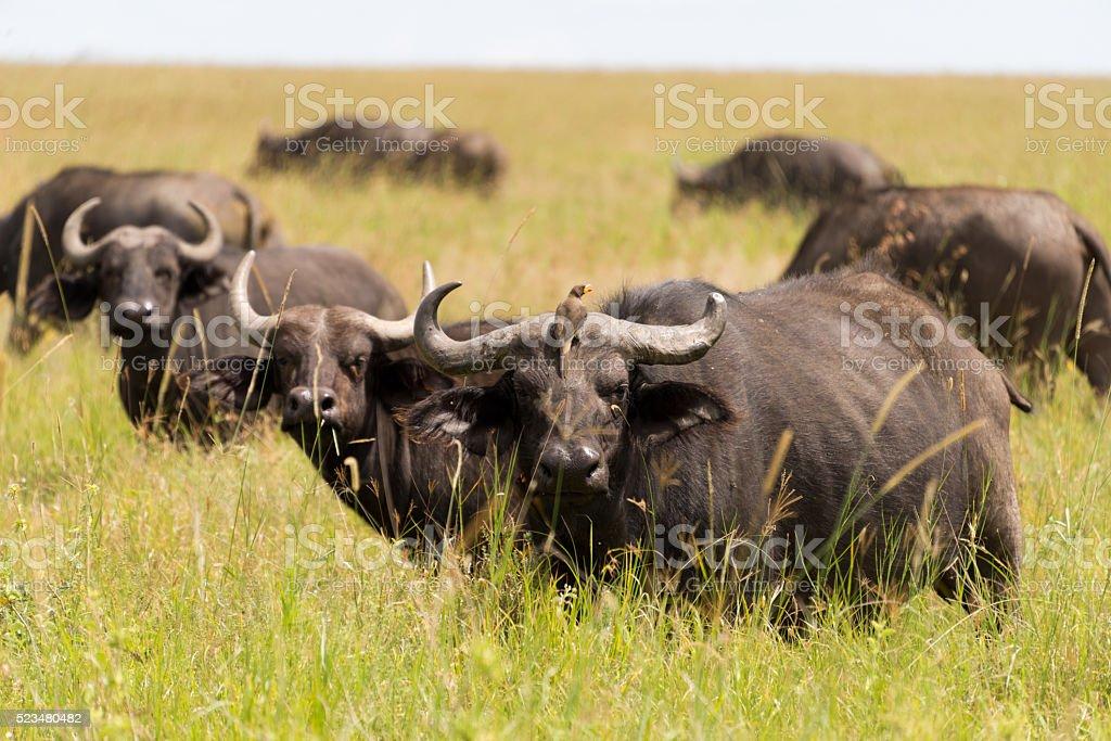 herd of buffaloes stock photo