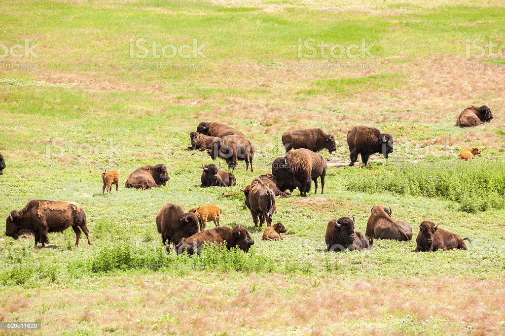 Herd of buffaloes with their little once stock photo