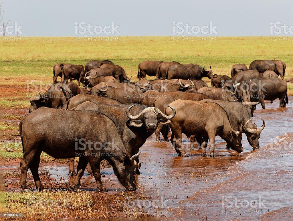 Herd of Bufflo in Lake Kariba stock photo