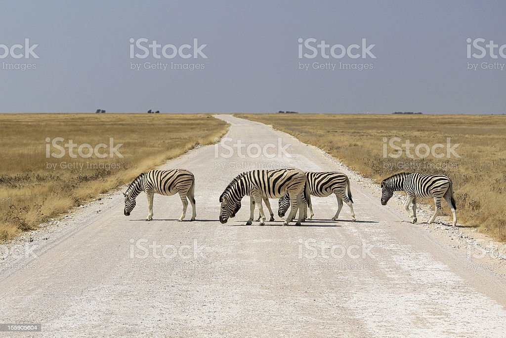 Herd of Burchell´s zebras crossing road in Etosha wildpark royalty-free stock photo