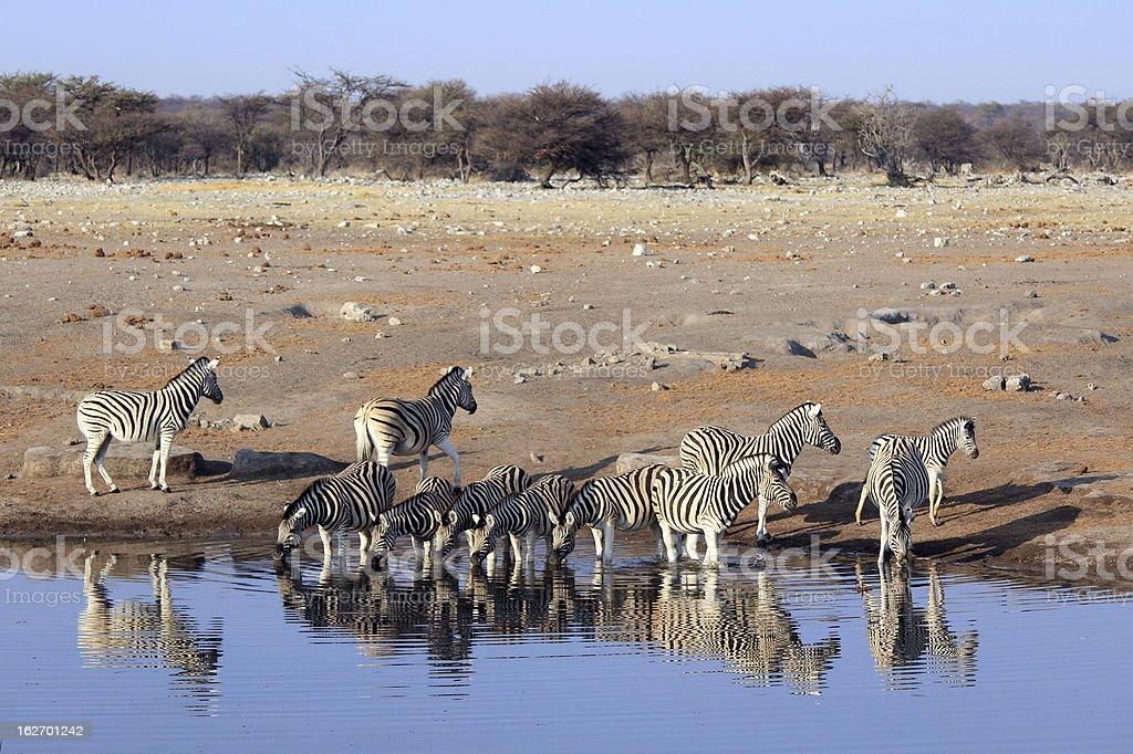 Herd of Burchell´s zebras drinking water in Etosha wildpark royalty-free stock photo
