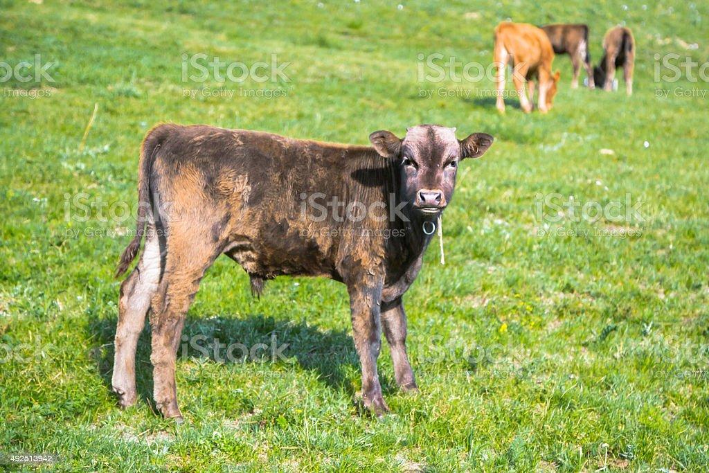 Herd of Calves stock photo
