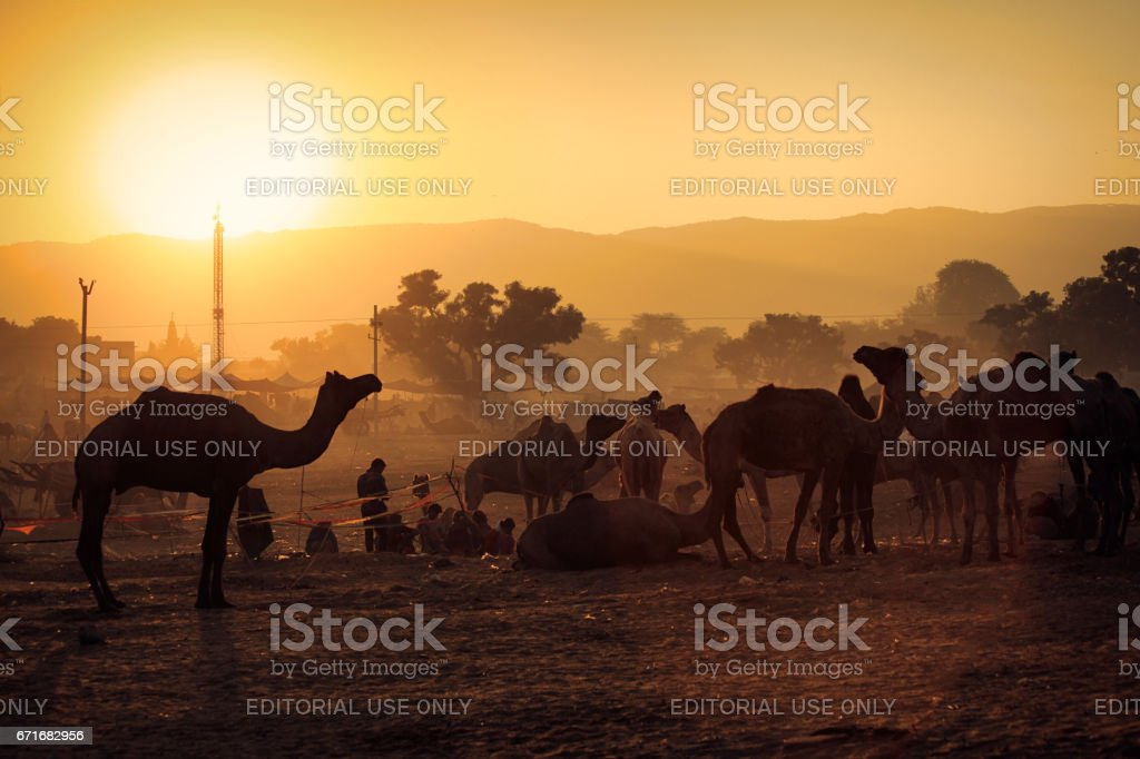 A herd of camels at the Pushkar fair grounds in the golden rays of sunrise stock photo