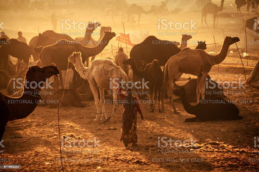 A herd of camels at the Pushkar fair stock photo