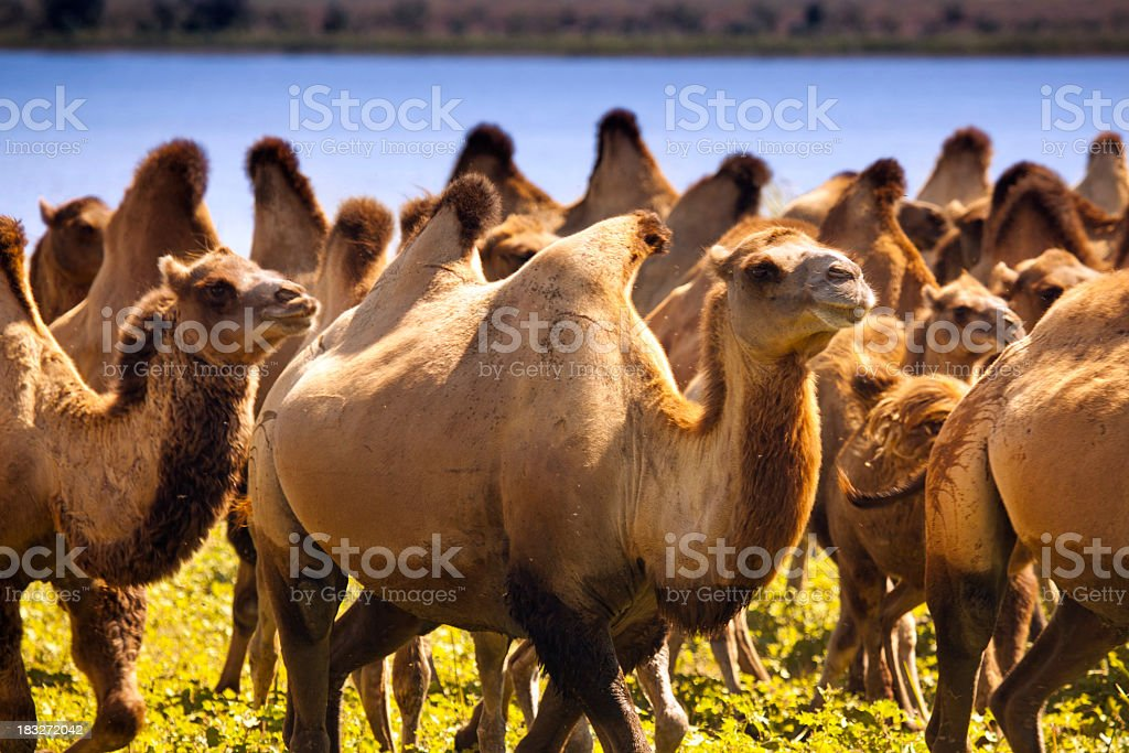 Herd of camels at watering place stock photo